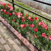 2021-03-27 清須あまで桜を見る(つもりが川を見ていた) ①