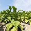 アルトリアグループ(MO)への追加投資検討、安定したキャッシュフローの最大規模のタバコ企業