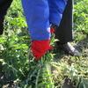 農家さんのお手伝い~大根収穫~