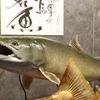 お店のギャラリー『剥製水族館に67cm大岩魚の仲間が増えました』