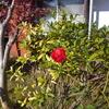 「庭いじりの贅沢」 秋になる実もあり、冬に咲く花もある。