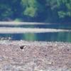 四万十川の猛禽類