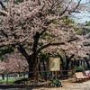 名古屋の桜、咲き始めました