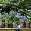 3ヶ月ぶりに不要不急では無い外出、明月院紫陽花寺へ。