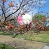 水前寺江津湖公園の桜