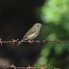 ルリビタキ・アオバト・アカハラ・オオタカ(大阪城野鳥探鳥 20201114 6:10-13:45)