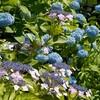 花博公園の紫陽花と人間一年生と人間六年生