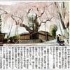 日光大杉神社の枝垂れ桜を撮る