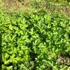 今年2度目のイタリアンパセリとコリアンダーの収穫