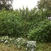 収穫〜茎だからって、なめちゃぁいかんですね〜