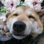 """福岡県高瀬花園の管理職""""ワンコ""""に癒やされる人続出!!   「上司が犬なんです」が職場の雰囲気UPに♡"""