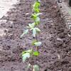 ローゼルの植え替え&プラムジャム作り