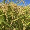 泉佐野 「田んぼの学校」ついに収穫の時期、稲刈りです!
