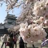 小田原城へ満開の桜を見に行きました