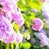 鎌倉の覚園寺と瑞泉寺の紫陽花をパナライカ DG SUMMILUX 15mm/F1.7 で撮影