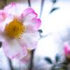さくらづくよ(桜月夜):サザンカの季節