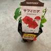 救いたい…¥50で買ってきたサフィニアをモリモリに咲かせてみたい!
