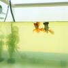 青水の謎「緑が濃くなるにつれ動かなくなる金魚」