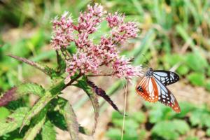 【雑学】自然観察指導員の徒然草=君たちがいて僕がいる 花と蝶の深い関係~前編