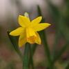 球根たちの開花と、ラブラドリカ