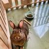 ウサギのちまきハンガーストライキ?