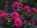 青の絶景「ネモフィラ」巡りの締めくくりは出会いの場に咲くバラでした