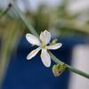 花盛りのベランダ2020 (8)