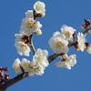 佐布里池梅まつりの上品な白梅