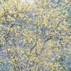 厳しい寒さでも咲き誇る蝋梅