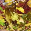 冬の花、蝋梅(ロウバイ)