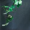モリアオガエル Rhacophorus arboreus