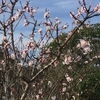 桜の季節間近!?