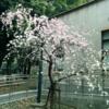 お花見(駒場)