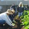 <農業講座日記> メキャベツの苗植え 台風被害は軽微(9月10日)
