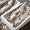 2020年4月10日 小浜漁港 お魚情報
