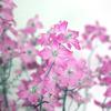 GIMP)「色相-彩度」で花の写真の色相を変えてみる。