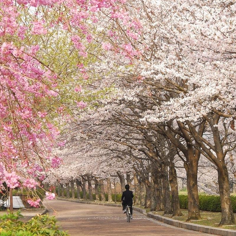 【2020】「もうひとつの京都」エリアで咲き誇る穴場の桜〜一本桜・大桜・絶景桜〜