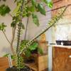そろそろ外に出したい室内育成の植物