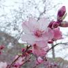 桜咲く(2)