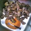 続 今が旬!牡蠣の燻製オイル漬けを作る