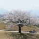 手取川「堤桜・3本桜」