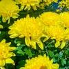 菊の育て方は初心者には難しい?初めての人でもできる菊の育て方とは