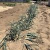 【タマネギ】出張と縁あるタマネギは収穫を先送りする