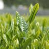 【緑茶最強】うつ病を吹き飛ばし睡眠や記憶を改善する!?