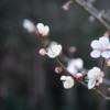 余田の臥龍梅~開花状況~