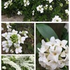 やっぱり白い花