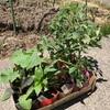 畑に野菜の苗を植えました。