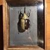 グラントシロカブト標本を標本箱へ