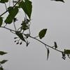 ヒヨドリジョウゴ  毎年裏庭に咲きます