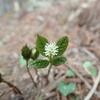 林床に咲く可憐な花 ヒトリシズカ
